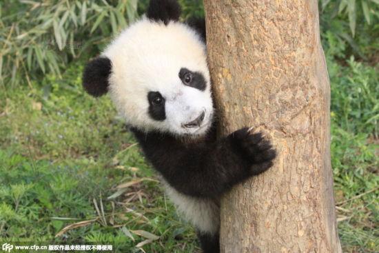 国家林业局回应4只大熊猫感染犬瘟热死亡高清图片