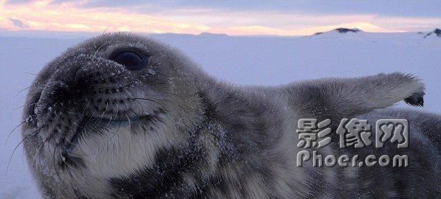 世界 非洲象/威德尔海豹只有几周大小,但是依然勇敢的游向海水中,去探秘...