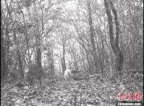 罕见白化动物再现神农架国家公园