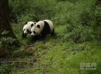 四川卧龙首次拍到野生大熊猫双胞胎,iPhone 11或将支持第三方频闪灯   一周影像资讯